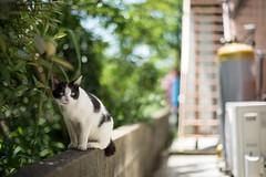 (23fumi) Tags: cat nikon dof bokeh cosina voigtlander  58mm nokton d600    voigtlandernokton58mmf14slii  stphotographia