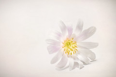 Spring Blossom (ScottNorrisPhoto) Tags: pink usa white flower color macro nature floral yellow closeup wisconsin landscape happy photography petals spring flora warm soft bright blossom magenta minimal explore milwaukee bloom highkey minimalist 365project scottnorrisphotography