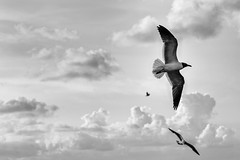 Free flight (msabba) Tags: sky blackandwhite birds animals fauna clouds blackwhite seagull