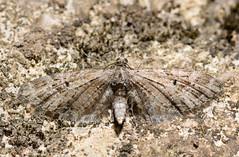 Mottled pug moth (Eupithecia exiguata) (Ian Redding) Tags: uk macro nature animal fauna insect wings european wildlife moth lepidoptera geometridae british common invertebrate geometrid geometer mercuryvapour mottledpug pugmoth eupitheciaexiguata
