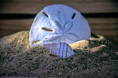 Gulf Coast Life (Statevillain) Tags: home seashells studio nikon sanddollar homestudio nikonians brianbochenekphotography statevillan nikond5200