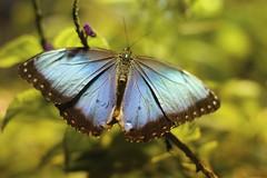 Blue Beauty (Read2me) Tags: blue green butterfly insect wings dof bokeh tcfunanimous thechallengefactorywinner friendlychallenges she gamewinner x2 agcgwinner challengeclubwinner yourock2nd superherowinner pregamewinner diamondawards x3 agcg mega winner acgcmegawinner perpetualchallengewinner storybookotr ttw agcgcrèmedelacrèmewinner agcgcrèmeofthecropchallengewinner storybookbeanstalk flickrchallengewinner