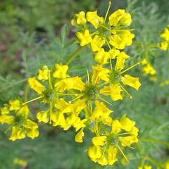 I colori della primavera (Luciana.Luciana) Tags: flowers primavera ruta spring colours giallo fiori colori printemps frhling