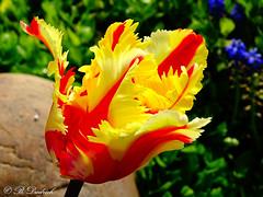 Tulpentraum (Fotoamsel) Tags: pflanzen blumen frhling tulpe niedersachsen imgarten
