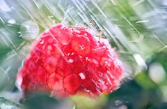 """""""Eine se Makrofotografie"""" Oder: Wie ich selbstlos die Hlfte abbiss, um das Licht durchzulassen (Manuela Salzinger) Tags: water rain fruit wasser raspberry frucht regen obst himbeere"""