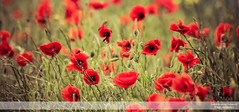Poppies Blowing in the Wind I (go18lf2004) Tags: flowers plants poppies wild reds yellows fields light colour beautfy sussex depthoffield motionblur photography canon creative mood atmosphere serene calming growth nature contrasts meadows pastures countryside