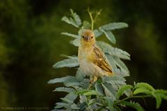 Mr.Birdy Rppell (Falcon EyE) Tags: bird birding nature beauty look wild dof bokeh mto500 reflex professional portrait forest tree trees outdoor sharp rppells rppellsweaver