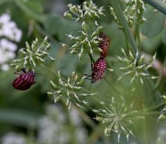 c'est la vie 2 (nickneykov) Tags: flowers green nikon bugs bulgaria d750 tamron 90mm nikond750