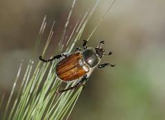 Chafer-----Chaetopteroplia segetum (creaturesnapper) Tags: europe greece beetles coleoptera scarabaeidae kerkini chafers chaetopteropliasegetum