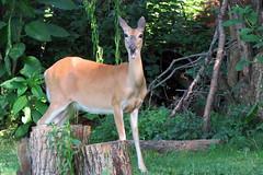 OMG! (Mean and Pinchy) Tags: charlotte deer omg whitetaileddeer odocoileusvirginianus omnomnom