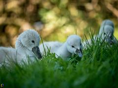 One wet - Swan Cygnets (JTPhotography) Tags: baby lake cute nature swimming river swan sweet wildlife cygnet schwan niedlich kken ss panasonic45200mm panasoniclumixg6
