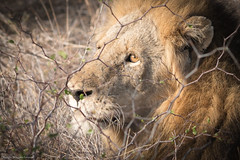 Safari @ Lion Sands Game Reserve (Dakinepics00) Tags: krugernationalpark sonya7rii southafrica a7rii africa mirrorless safari sony wildlife
