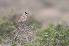 Horned Lark / Strandleeuwerik (igerarddejong) Tags: bird strandleeuwerik sogetyvalley eremophilaalpestris kazachstan hornedlark kazakhstan vogel