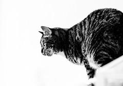 Diesel (WillemijnB) Tags: blackandwhite monochrome cat kat chat lips whitebackground babines