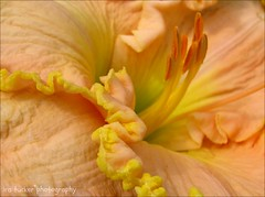 So long as we love we serve; so long as we are loved by others, I would almost say.... (itucker, thanks for 2.3+ million views!) Tags: macro lily bokeh daylily dukegardens edbrown hbm
