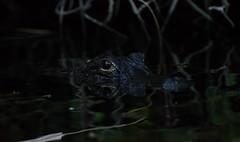 Everglades Alligators (- Matt Haigh -) Tags: florida alligator swamp everglades alligators everglade