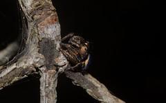 Simaetha tenuidens (dustaway) Tags: nature australia nsw arthropoda arachnida araneae jumpingspiders salticidae araneomorphae australianspiders northernrivers tullera simaethatenuidens tullerapark