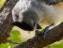 7b-black-crestedtitmouse-6655-2 (h.redpoll) Tags: bigbendtrip blackcrestedtitmouse davismountainsstatepark feeders texas westtexas