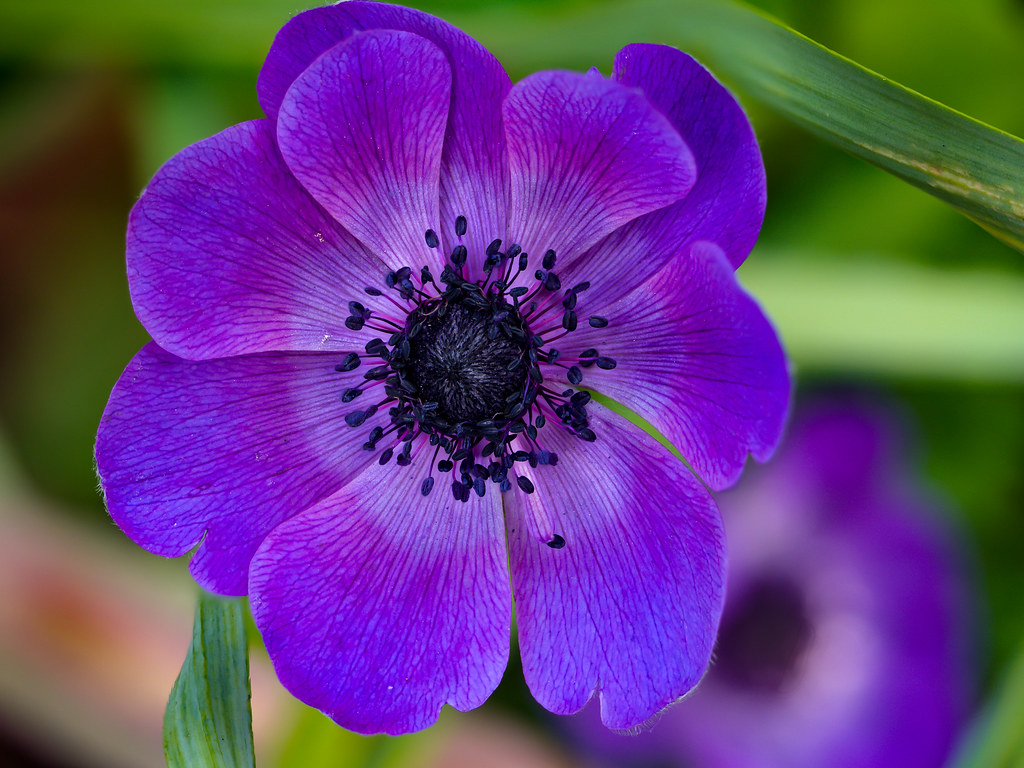 the world 39 s best photos of anemonecoronaria and macro flickr hive mind. Black Bedroom Furniture Sets. Home Design Ideas