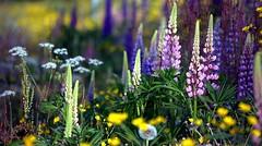 Flowering meadow. (janrs7) Tags: flowers summer colors june norway colorful meadow flowering wildflowers lupins
