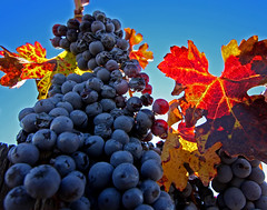 Winter in the Vineyard (Kevin D. Haley) Tags: california autumn winter day wine bluesky autumnleaves winery autumncolors vineyards grapes temecula grapevine winecountry temeculacalifornia winecountrytemecula