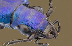 Metallic Blue (bayramkus) Tags: macro nature beetle makro microscope macrophotography extrememacro doa mitutoyo focusstacking groundbeetle makrofotoraflk mitutoyo5x makrofotoraf