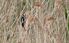 Woodpecker in the reeds (Steve Balcombe) Tags: uk bird reeds major woodpecker great somerset spotted levels bulrushes rspb reedmace dendrocopos hamwall avalonmarshes