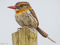 Rapazinho dos Velhos (Dijalma Cruz) Tags: birds passaro photography natureza naturephotography animais ave