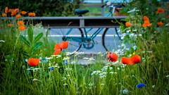 Wildflowers (jayneboo) Tags: road bike bicycle poppy wildflower verge odc cornflowers
