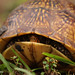 Three-toed Box Turtle in shell