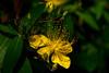 20160610_066_2 (まさちゃん) Tags: 雄蕊 雄しべ 黄色い花 雌蕊 雌しべ