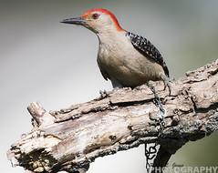 Red-Bellied Woodpecker (Ricky L. Jones Photography) Tags: bird nature birds wisconsin canon woodpecker wildlife birding woody birdwatching birder naturephotography birdphotography wildlifephotography backyardbirding teamcanon