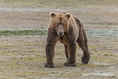 Frontal Approach (endrunner) Tags: nature animal bear grizzly tripod psshakereduction greatphotographers ngc