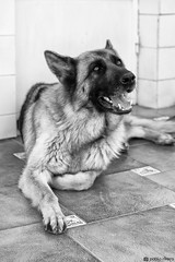 Serie de Lara - 3 Junio 2016 (Pablo_Rivera) Tags: dog pet pets dogs animal animals perro perros mascota pastoraleman