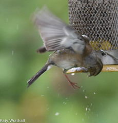 Drat (Katy Wrathall) Tags: 2016 chaffinch eastriding eastyorkshire england june summer birds feeders garden 30dayswild