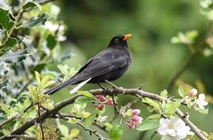 Blackbird (Ladyinrosso) Tags: uk bird nature wildlife turdusmerula blackbird