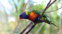 Rainbow bird (Lea_slq) Tags: birds bird oiseau oiseaux arcenciel rainbow animal animaux zoo guyane extrieur bokeh couleur colors