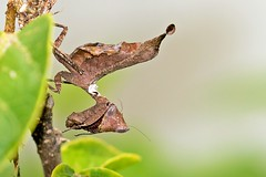 Dry-Leaf-like Praying Mantiis (Kamal50) Tags: nature canon wildlife caribbean trinidadandtobago