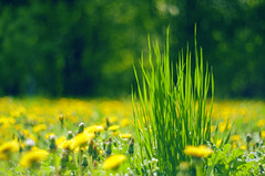 Pure Joy Of Spring (Paulina_77) Tags: flowers wild plant blur flower detail green nature floral grass yellow closeup vintage garden season lens botanical 50mm prime spring flora nikon focus dof purple blossom bokeh outdoor pov background details low version mother grow blurred scene dandelion depthoffield mount mc german greens m42 bloom flowering greenery botanic buds wildflowers alive shallow manual lush pentacon f18 wildflower depth dandelions springtime flourish selective blooming 50mm18 focusing 5018 d90 bloomy pentacon50mmf18 bokehlicious pentacon50mm nikond90 multicoated pentacon50mm18 pola77