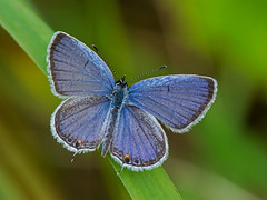 Eastern tailed-blue (mishko2007) Tags: 105mmf28 cupidocomyntas easterntailedblue franklincountyvirginia