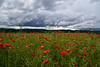 Entre deux averses (Excalibur67) Tags: red cloud nature landscape rouge nikon sigma ciel poppies d750 nuages paysage coquelicots pavots 24105f4dgoshsma
