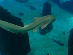 DSCN0307 (pablo.modo) Tags: portugal lisboa peces animales acuario tiburn
