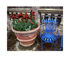 Red Tulips  Blue Chair (Pictures from the Ghost Garden) Tags: uk flowers blue red plants color colour film gardens fuji tulips chairs unitedkingdom furniture superia rangefinder gloucestershire historic negative 400 400iso kiftsgate colournegative 80mm historicgardens c41 plantsandflowers mamiya7ii mickleton kiftsgatecourtgardens