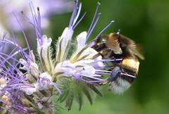 Haltestellen (deta k) Tags: flowers macro flora blumen bumblebee hummel blten nikond5100