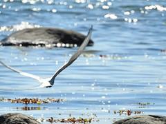 "Tern ""art"" (KaarinaT) Tags: sea seaweed bird finland se helsinki sparkle artsy serene tern artshot vuosaari uutela tiira kalatiira merilev flyingtern ternart blueseawithsparklyspots"