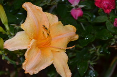 Daylily after the rain shower (vacationer1901) Tags: florida daylily agapanthus penta summerflowers
