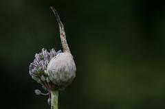 blossom out (simona.photo) Tags: flowers nature macro blossom nikon d7000 tamron90mmf28dimacrovcusdf2004