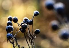 ....winter bokeh (dawn.tranter) Tags: winter sunlight macro ice water frost bokeh seedheads dawntranter
