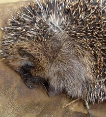 Trapped. More Hedgehog Trouble 2 (Margaret Edge the bee girl) Tags: animal mammal wire hedgehog spines