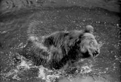 Obsession (cotnari73) Tags: bear summer blackandwhite bw film water noiretblanc sweden d76 ilfordhp5 analogue bianconero ours russiancamera photosniper fotosnaiper photogun tair3s zenit12s